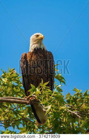 Bald Eagle (haliaeetus Leucocephalus) Sitting On A Tree Branch. Blackwater National Wildlife Refuge.