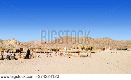 Bedouin Village In Desert, Egypt - February 2020: A Lot Of Camels Resting In Bedouin Village, Long V