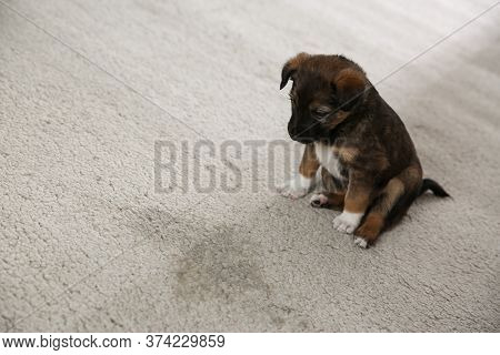 Adorable Puppy Near Wet Spot On Carpet Indoors. Space For Text