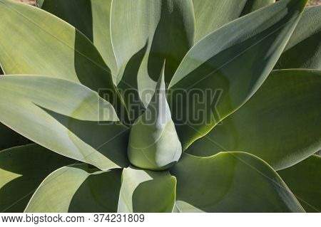 Top View Of The Agave Plant Dragon Tree, Green Fox Tail Agave Floral Green Pattern