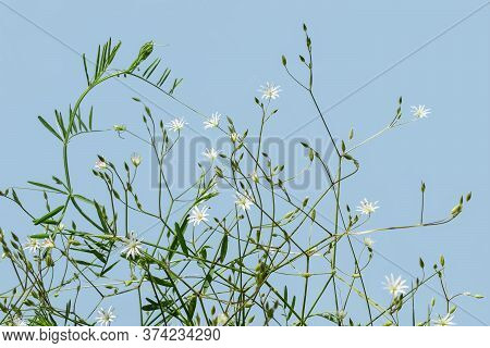 Natural Floral Pattern Of Stalks Of Lesser Stitchwort With A Small White Florets And Buds, Isolated