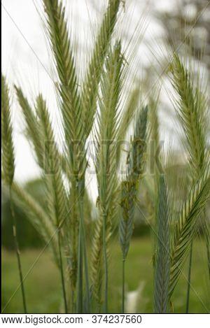 Ear Of Rye In The Field.close Up Of Rye Ears, Field Of Rye In A Summer Day. Sunrise Time.