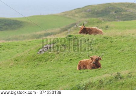 A Tan Highland Bull Grazes Long Natural Meadow Plants, With A Second Black Bull In The Background Si