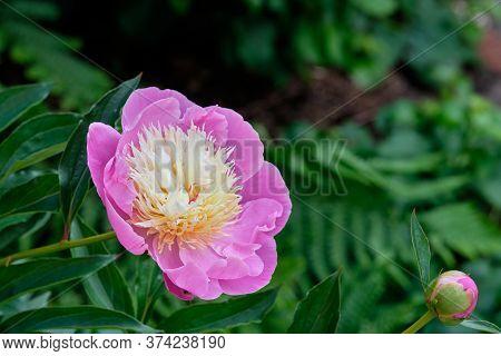 Pink Peonies In The Garden. Pink Peony Macro Photo. Burgundy Peony Flower. Closeup Of Pink Peonies I