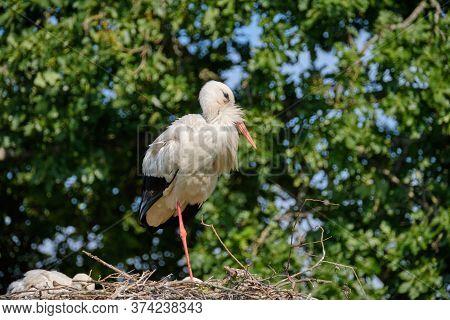 Stork Nest On Green Natural Background. Stork With Baby In Stork Nest