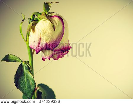 Memory Of Love. Dried Withered Multi Colored Rose Flower On Wall Background.