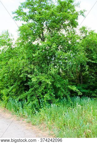 Mulberry Tree Near The Carriageway Of The Road Ukraine