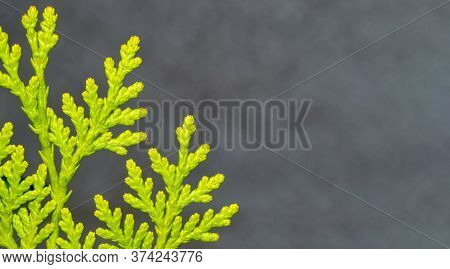 Coniferous Twig On A Brown Background. Thuja Branch Close-up. Bright Green Natural Background. Sunny