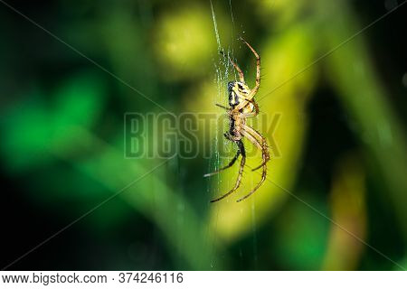 European Garden Spider, Neoscona Adianta, On Its Orb Web Waiting For A Prey, Lateral View With Green