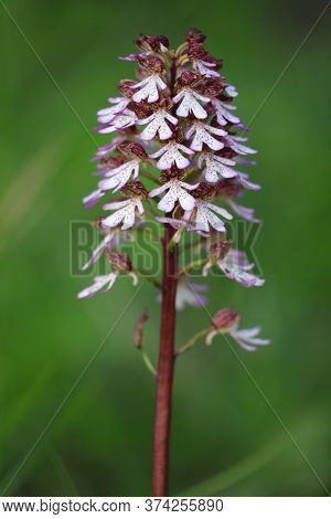Symbol Spring Time. Detail Of Nature. Orchis Militaris,the Helmet Orchid (orchis Militaris) Is A Pla