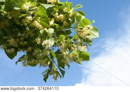 Branch Of Linden Tree, Lime Flowers. Blue Sky On Background. Copy Space.