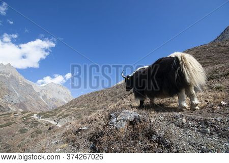 Yak A Hight Attitude Animal On Mountain, Nature Landscape Image