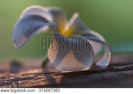 White Plumeria Flowers Laying On Wooden Table In The Evening Time And The Sun Was Going Down And The