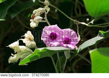 Beautiful Bright Purple Flowers That Blossom In The Morning And The Green Background From The Leaves