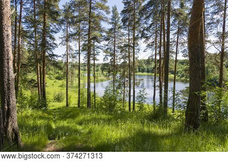 Birch Trees Near The Lake In The Summer. Untouched Nature By Man.