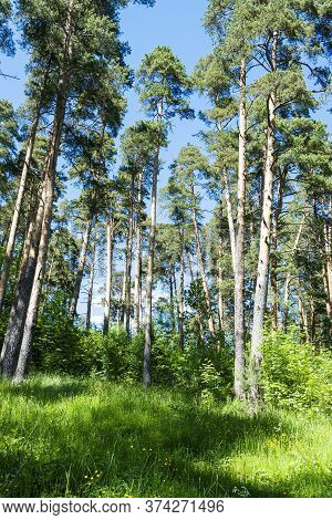 Tall Pines In The Summer. Coniferous Forest.