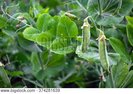 Pods Of Young Green Peas In A Field