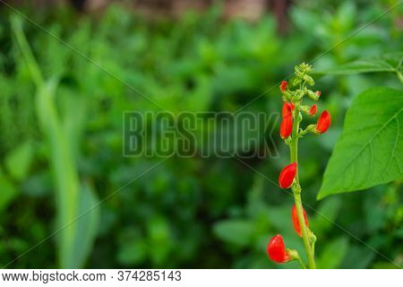Beans In The Field Blooms With Red Flowers In Early Summer