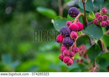 Ripe, Colorful Berries Of A Shadberry On A Bush