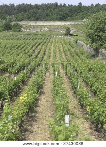 Cote D'or Vineyard In Burgundy