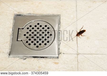 Cockroach In The Bathroom Near The Drain Hole. The Problem With Insects. Cockroaches Climb Through T