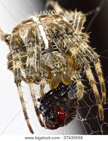 garden spider sucking a fly