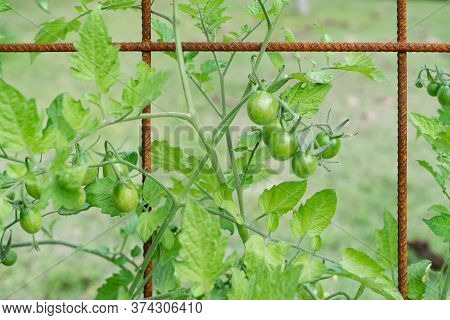 Trusses Of Grape Tomatoes And Cherry Tomatoes Growing On A Mesh Trellis