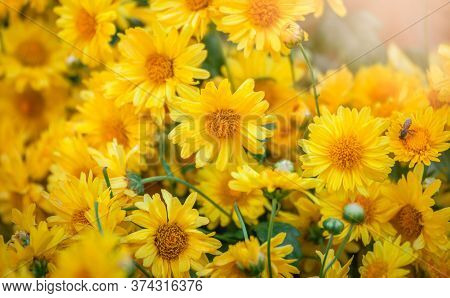 Beautiful Bright Orange And Yellow Chrysanthemum Flower On The Background Of Other Chrysanthemum Flo
