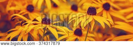Yellow Rudbeckia Hirta Black-eyed Susan Sunflower Flowers Background. Bright Golden Floral Backdrop