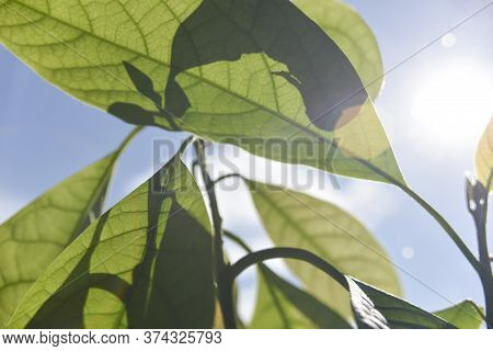 Selective Focus And Bokeh On The Avocado Leaves And Blue Sky On The Sunny Day