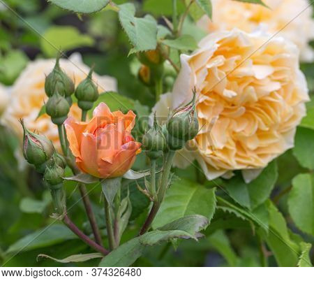 Blooming Yellow Orange English Roses In The Garden On A Sunny Day. Rose Graham Thomas