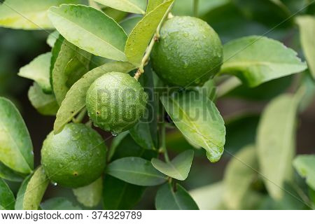 Green Limes Tree In The Garden.green Limes Are Excellent Source Of Vitamin C.green Organic Lime Citr