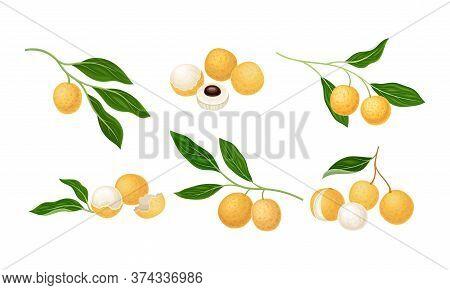 Longan Exotic Circular Fruit With Tan Peel And Translucent Flesh Vector Set