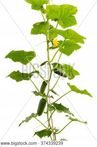 Cucumber Plant. Cucumber With Leafs And Flowers Isolated On White Background. Growing Cucumber Plant