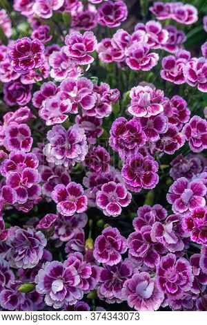 Dianthus Caryophyllus, Commonly Known As The Carnation Or Clove Pink, Is A Species Of Dianthus. Clos