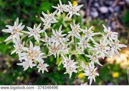 Rare Edelweiss Flowers Growing In The Highlands