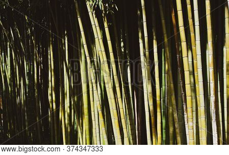 Bamboo Forest With High Plants And Beauty Of Nature Canes - Save The Planet And Care Plants Concept
