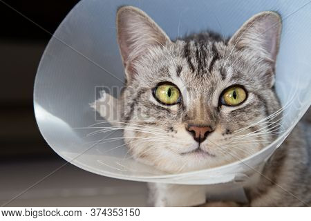 Happy Young American Shorthair Cat In Veterinary Plastic Cone Or E-collar (elizabethan Collar) In Th