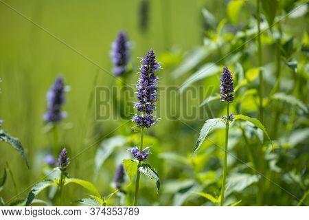 An Agastache Foeniculum Herb In The Garden