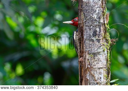 Pale-billed Woodpecker Sitting On A Tree In The Forest Of Costa Rica