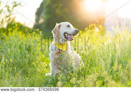 Golden retriever dog sitting on sunny blooming meadow