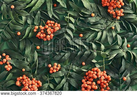 Sorbus and leaves on dark green background top view. Red rowan bunches and branches flat lay. Tree twigs botanical composition. Wild forest orange berries wallpaper, backdrop design