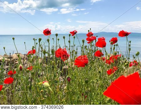 Red Poppies Flowering In Pomorie, Bulgaria Stock Photo