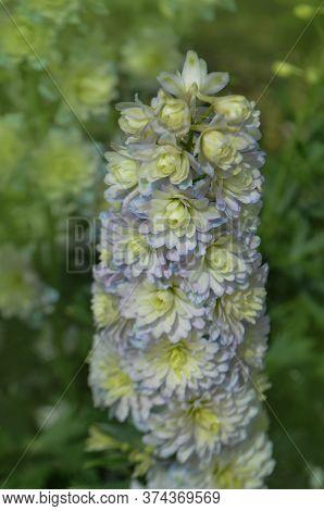 Delphinium Mauve Purple Sweet Sensation