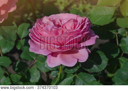 English Rose In Garden. English Pink Rose Princess Alexandra Of Kent.