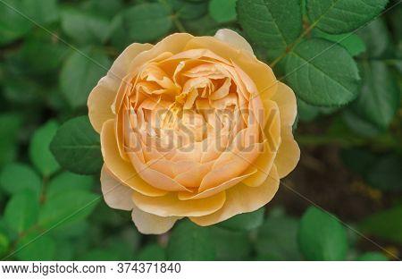 Blossom Orange Roses
