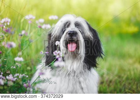 Tibetan Terrier Dog In Garden. A Tibetan Terrier  Dog With A Curious Look And Open Mouth In Front Of