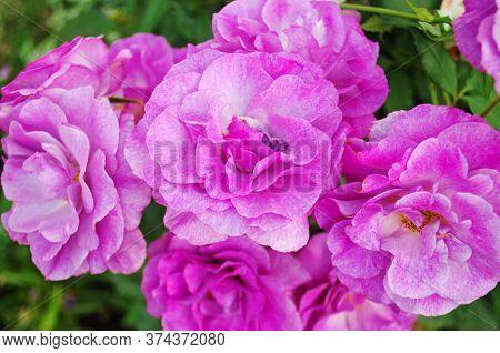 Beautiful Ebb Tide Rose.
