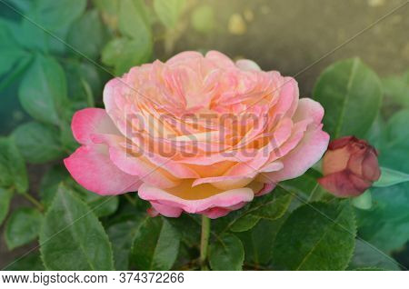 Rose With Two Colors In A Single Flower. Two Tone Blooming Aquarell
