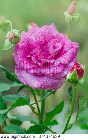 Novalis Rose Flowers In The Garden